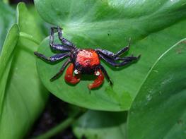 Crab Red Devil