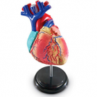 Sablon corp uman Inima